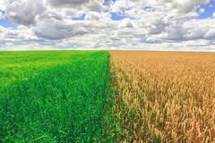 Agriculture farm field landscape. Yellow and green meadows at summer sunny day. Royalty Free Stock Image