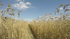 Agriculture farm field with ripe wheat ears. Timelapse 4K stock video footage