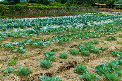Agriculture farm. Fresh green cabbage plant growing in agricultu. Agriculture farm. Landscape view of a freshly growing cabbage field with dry grass. Organic stock image