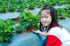 Agriculture farm. Happy asian child smiling and showing fresh st. Agriculture farm. Ripe and unripe organic strawberry fruit growing on plantation. Happy asian Stock Photos