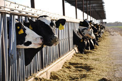 Agriculture farm shot of cows grazing Royalty Free Stock Photo