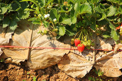 Agriculture farm of strawberry field Stock Images