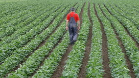 Agriculture, farmer or agronomist walking in soybean field stock video footage