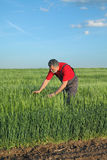 Agriculture, farmer examine wheat field Royalty Free Stock Photos