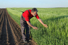 Agriculture, farmer examine wheat field Royalty Free Stock Images