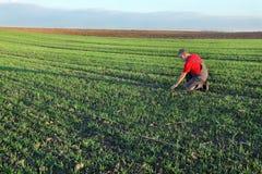 Agriculture, farmer examine wheat field Stock Photography