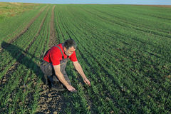 Agriculture, farmer examine wheat field Royalty Free Stock Photography