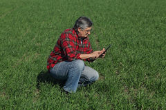Agriculture, farmer examine wheat plant in field Stock Photography