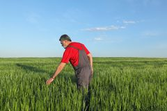 Agriculture, farmer examining wheat plant in field Stock Images