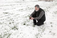Agriculture, farmer examining wheat plant in field. Farmer or agronomist inspect quality of wheat under snow in winter Royalty Free Stock Photo