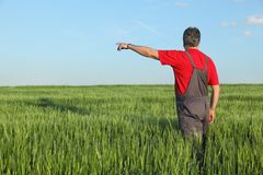 Agriculture, farmer examining wheat plant in field Royalty Free Stock Image