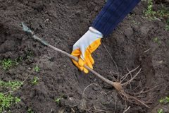 Agriculture. Farmer hand planting grape plant to hole in ground stock image