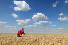 Agriculture, farmer in wheat field. Farmer or agronomist  inspect quality of wheat field with beautiful sky Stock Photography