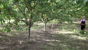 Agriculture, farmer works in apricot fruit orchard stock video footage