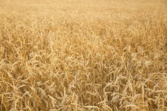 Agriculture, farming, cereal ,field of ripening wheat ears or ry Stock Photo