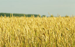 Agriculture, farming  - cereals during the growth of the field Stock Photography
