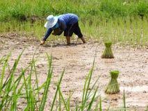 Farmer plant rice alone royalty free stock photos