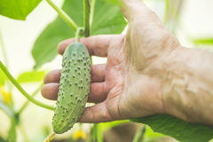 Agriculture, farming and gardening concept. Detail of wrinkled man hand holding cucumber at farm greenhouse. Selective focus. Royalty Free Stock Image