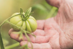 Agriculture, farming and gardening concept. Detail of wrinkled man hand holding green tomato at farm greenhouse. Selective focus. Royalty Free Stock Photos
