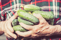 Agriculture, farming and gardening concept. Detail of wrinkled man hands holding cucumbers at farm greenhouse. Close up toned imag Stock Photos