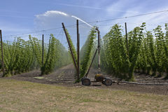 Agriculture and farming of hops in Oregon. Stock Image