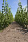 Agriculture and farming of hops in Oregon. Stock Photos