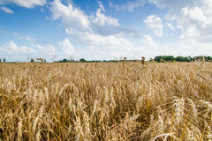 Agriculture Farming - Wheat Field Crops Royalty Free Stock Photos