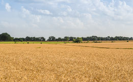 Agriculture Farming - Wheat Field Crops Royalty Free Stock Image
