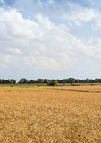 Agriculture Farming - Wheat Field Crops Stock Photo