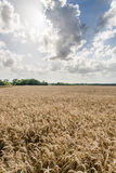 Agriculture Farming - Wheat Field Crops Royalty Free Stock Photo