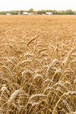 Agriculture Farming - Wheat Field Crops Stock Image