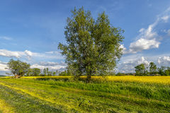 Agriculture, farmland, in the foreground, willow and rape field Royalty Free Stock Photos