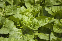 Agriculture and farms - leafy veges. Closeup of an Asian leafy vegetable Royalty Free Stock Photography