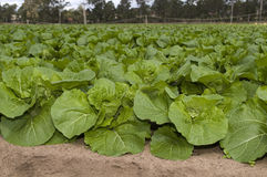 Agriculture and farms - leafy veges. Close up of green leafy asian vegetables Royalty Free Stock Photo