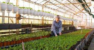 Agriculture female gardener working in greenhouse. Female farmer gardener working with plant at greenhouse agriculture stock video