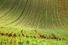 Agriculture fertile soil. Of young wheat Stock Photo