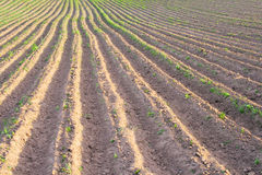 Agriculture field. New spring planted potato field Royalty Free Stock Photo