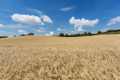 Agriculture Field With Cereal Plants Royalty Free Stock Photography