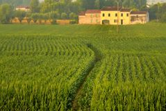 Agriculture, Field, Crop, Paddy Field stock images