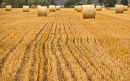 Agriculture field details. Wheat rolls on the agriculture field with focus on cut hay during harvest time royalty free stock photo