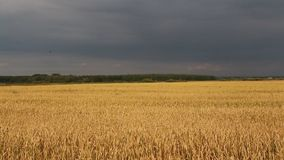 Agriculture, field, ears of wheat stock video