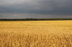 Agriculture, field, ears of wheat Royalty Free Stock Photography