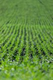 Agriculture field with, fertile fresh green plants. Fresh green plants on an agriculture field fertile monoculture monocropping pure plantation farming nutrient royalty free stock image