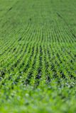 Agriculture field with, fertile fresh green plants. Fresh green plants on an agriculture field fertile monoculture monocropping pure plantation farming nutrient stock photography