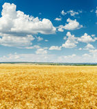 Agriculture field with golden harvest and blue sky Royalty Free Stock Images