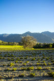 Agriculture field. Green flourished field with blue sky and mountain in the background Royalty Free Stock Images