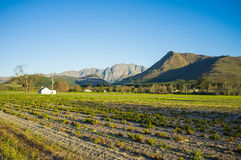 Agriculture field. Green flourished field with blue sky and mountain in the background Royalty Free Stock Photo