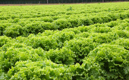 Agriculture:  field of green lettuce Stock Image