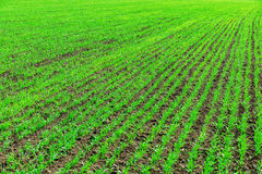 Agriculture field with green little shots Stock Photos