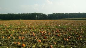 Agriculture field growing pumpkins. Pumpkins growing under a bright sunshine Royalty Free Stock Images